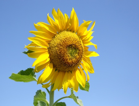 Blossom sunflower over blue sky. Shallow DOF. photo