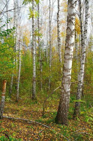 In autumn birch grove Stock Photo - 10851113