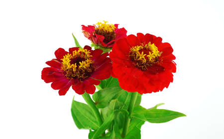 Red flowers (Helenium autumnale) over white photo