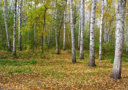 秋のバーチ グローブ 写真素材