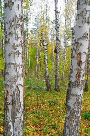 birchen: Autumn birch grove