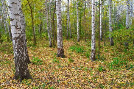 birchen: In autumn birch grove