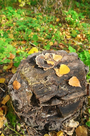 Stump with mushrooms in autumn forest photo