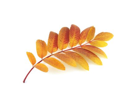Twig of rowan-tree with color autumn leaves Stock Photo - 11230495