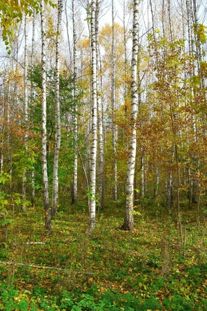 In autumn birch grove photo