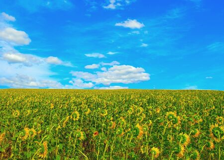 Sunflowers field. Summer landscape. photo