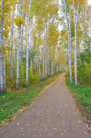 Path in autumn birch grove photo