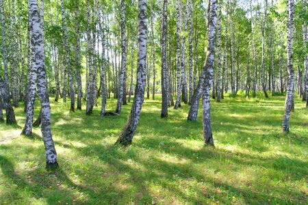 Beautiful summer birch grove photo