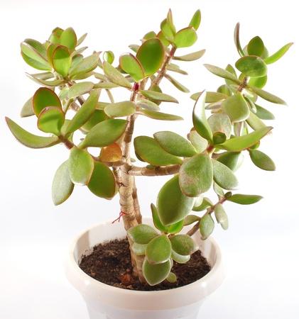 Money tree (crassula plant) in pot over white Stock Photo