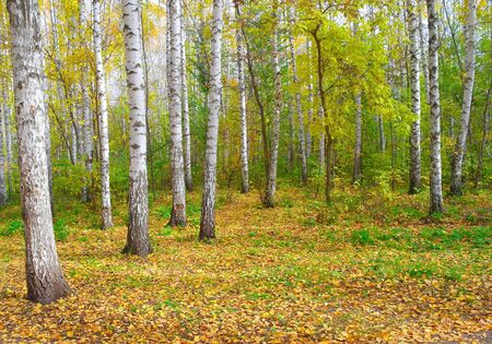 Beautiful landscape in autumn birch grove photo