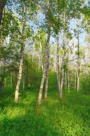 greenwood: Beautiful summer landscape in birch grove Stock Photo