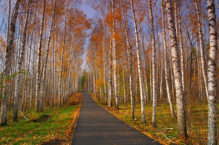 Beautiful landscape. Path in evening, autumn birch grove  photo