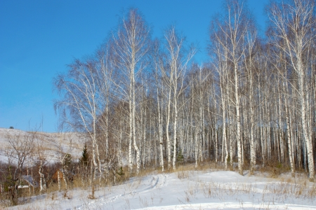 Winter landscape with birch grove photo