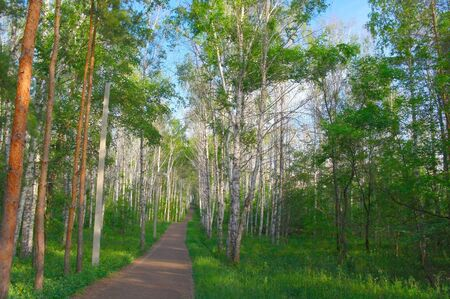 Beautiful summer landscape with footpath in birch and pine grove  photo