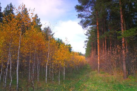 Beautiful evening landscape in autumn forest with birches and pines photo