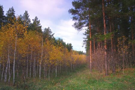 birchen: Beautiful evening landscape in autumn forest with birches and pines