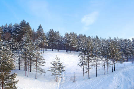 Winter forest with pines on the mountains photo