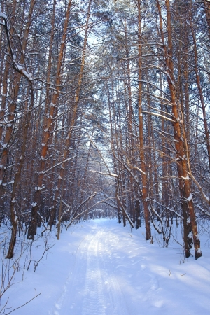Winter landscape in forest with pines Stock Photo - 17441912