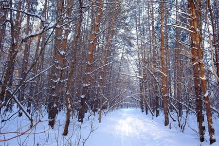 Winter landscape in forest with pines Stock Photo - 17832938
