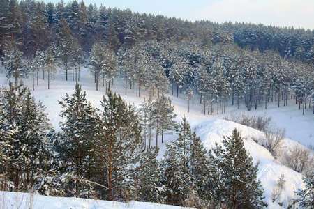 Winter landscape in forest with pines on the mountains, evening Stock Photo - 18019613