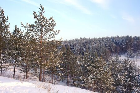 Winter landscape in forest with pines on the mountains, evening photo