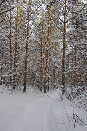 Winter landscape in forest with pines after snowfall, evening photo