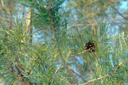 Background nature, twig of pine with cone photo