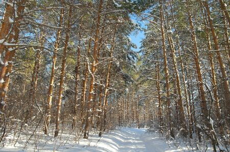 Winter landscape in forest with pines after snowfall Stock Photo - 18423273