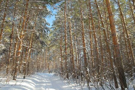Winter landscape in forest with pines after snowfall Stock Photo - 18590850
