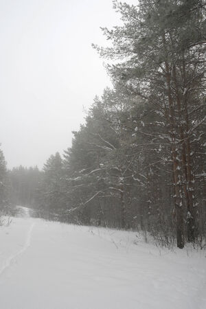 Winter foggy landscape in forest with pines photo