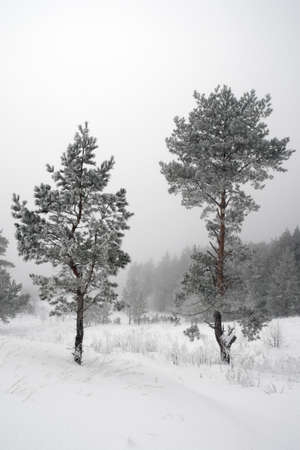 Winter foggy landscape with pines photo