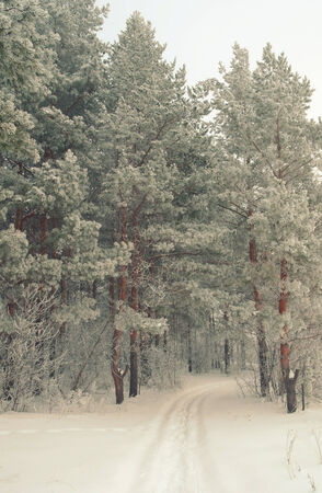 Winter foggy landscape in forest with pines. Stock Photo