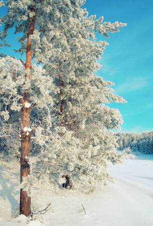 Winter landscape with pines hoarfrost covered. Stock Photo