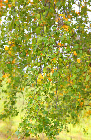 Autumn background from leaves of birch, shallow dof Stock Photo - 35710823