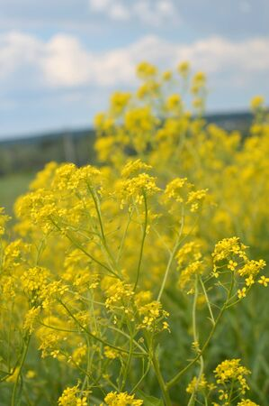 yellow wild flowers on field, shallow DOF Stock Photo