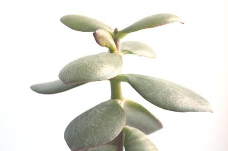 jade plant: Crassula macro view over white, shallow DOF