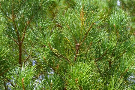 background nature with green twigs of pine