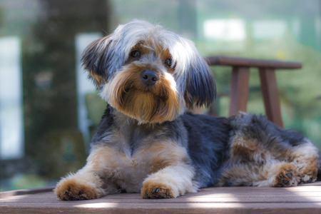 Yorkshire Terrier puppy sitting on a deckchair looking cute in a garden in Hout Bay, Cape Town.