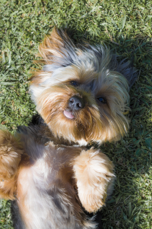 Top view of Yorkshire Terrier puppy looking cute on lawn in a garden in Hout Bay, Cape Town.