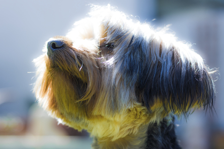 Yorkshire Terrier sitting looking cute in a garden in Hout Bay, Cape Town. Stock Photo