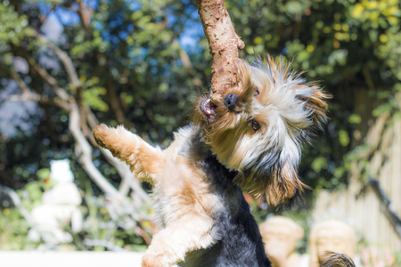 Yorkshire Terrier puppy playing in a garden with wooden stick in Hout Bay, Cape Town.
