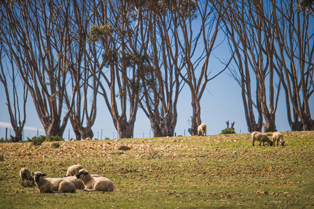 Sheep relaxing in a field with a row of trees in the background. Stock Photo