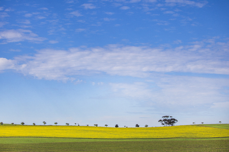 A row of trees on a Canola field with cloudy blue skies.