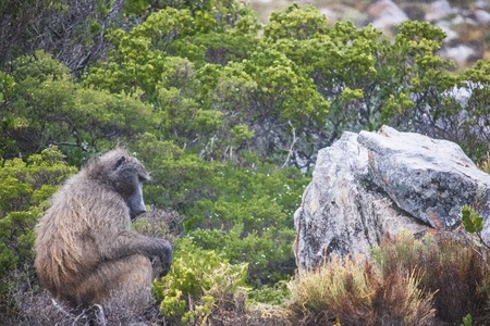 Baboon sitting on a rock meditating on a rainy day - Clarence Drive, between Gordons Bay and Kleinmond in the Western Cape, South Africaestern Cape, South Africa