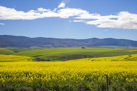 Beautiful rolling green and yellow fields with mountains in the distance with blue sky and cluds. Caledon, Western Cape, South Africa. Stock Photo