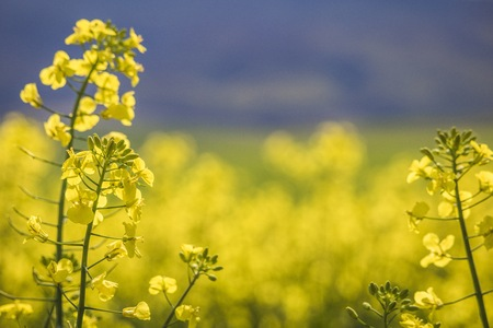 Close up of Canola flowers in Spring. Caledon, Western Cape, South Africa. Stock Photo
