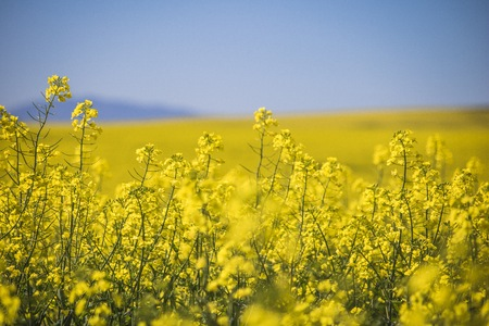 Beautiful rolling hills of Canola flowers in Spring. Caledon, Western Cape, South Africa. Stock Photo