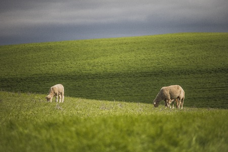 Green farm fields with sheep grazing.