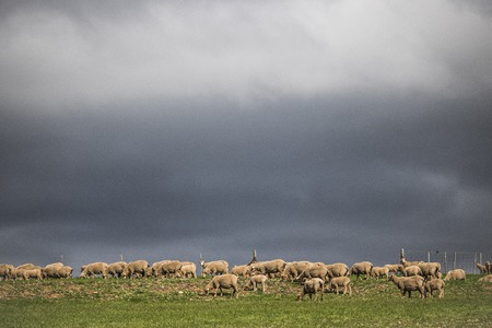 Dramatic stormy clouds over green farm fields with sheep grazing.