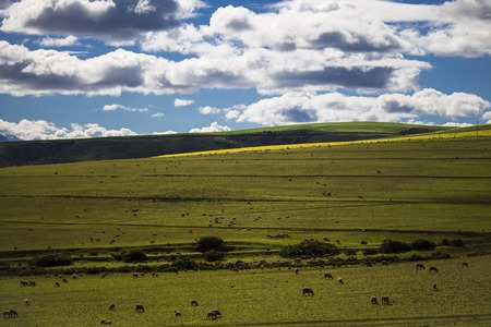 Sheep grazing in majestic green fields in Caledon, Western Cape, South Africa.